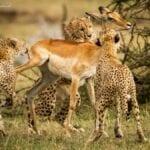 chita impala luta selva 01