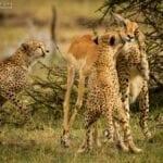 chita impala luta selva 02