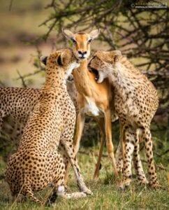 chita impala luta selva 03