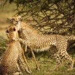 chita impala luta selva 04