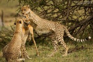 chita impala luta selva 05