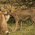 chita impala luta selva 07
