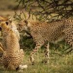chita impala luta selva 08