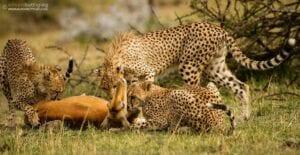 chita impala luta selva 09