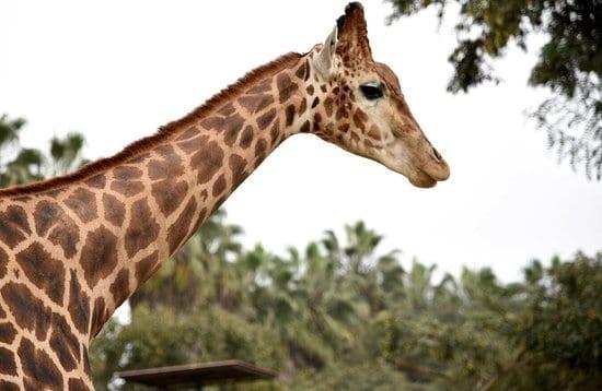 lenda da girafa