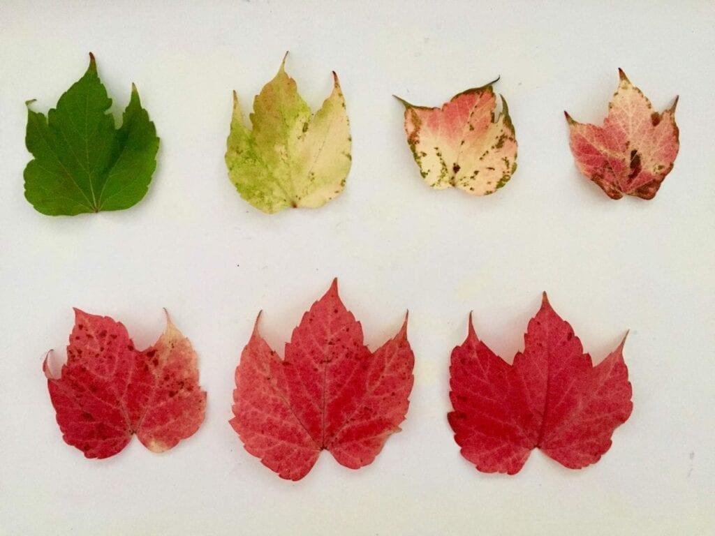 ciclo de vida da folha de outono 06
