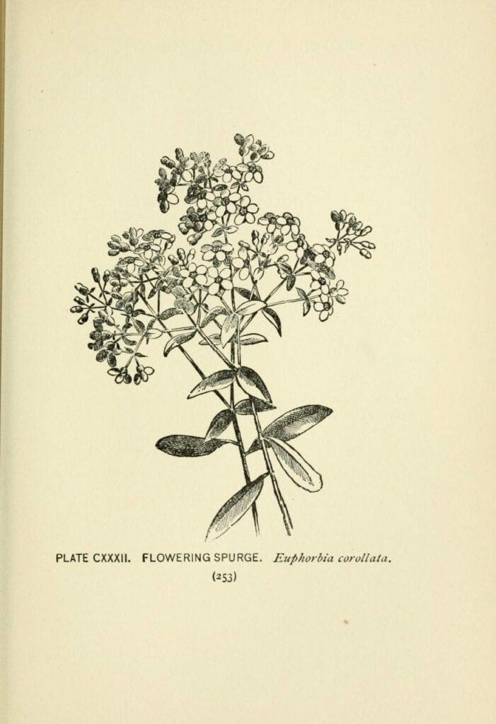 ilustracao cientifica botanica