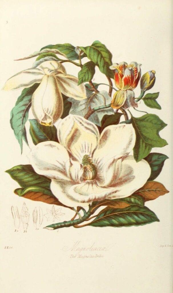 ilustracoes botanicas 04