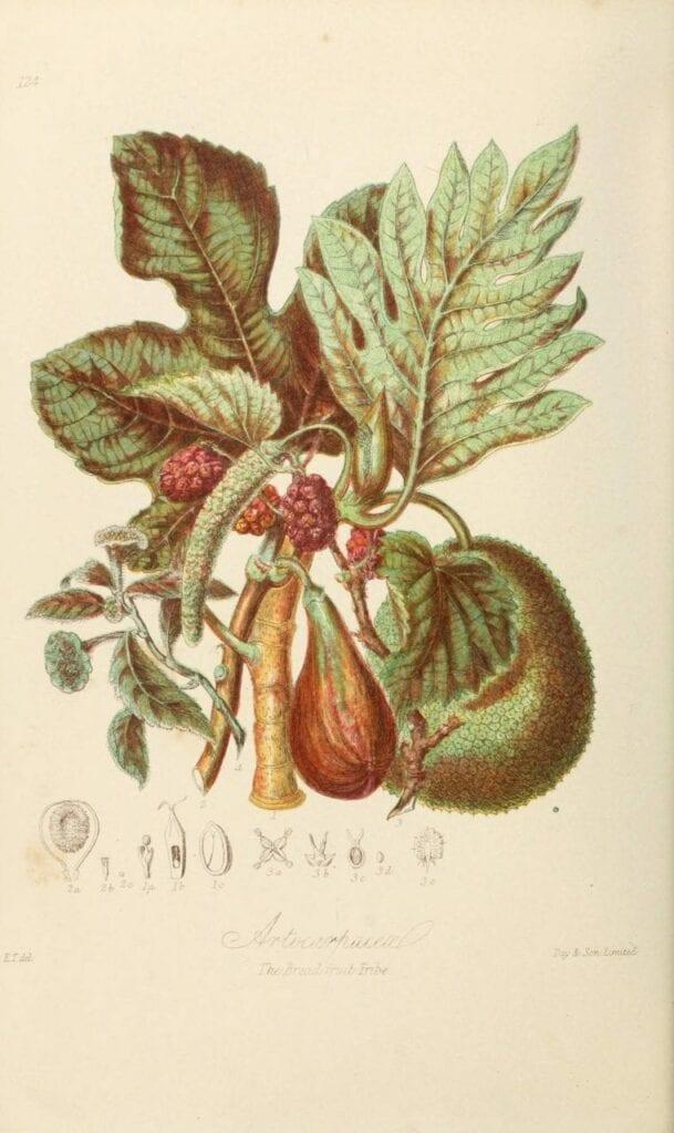 ilustracoes botanicas 05