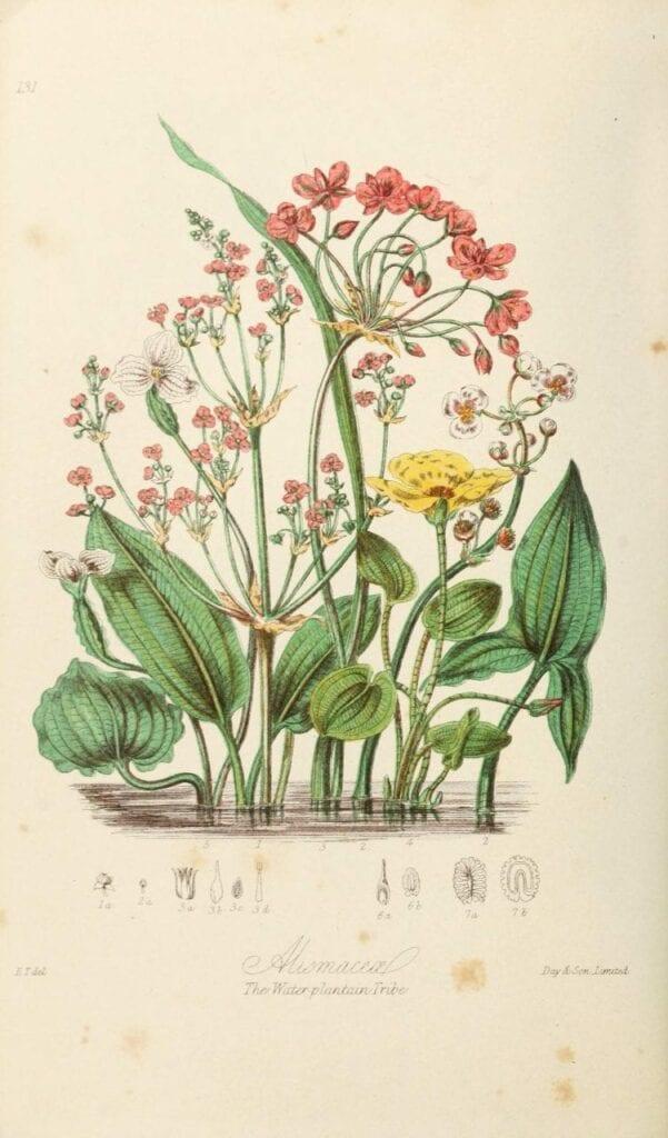 ilustracoes botanicas 06