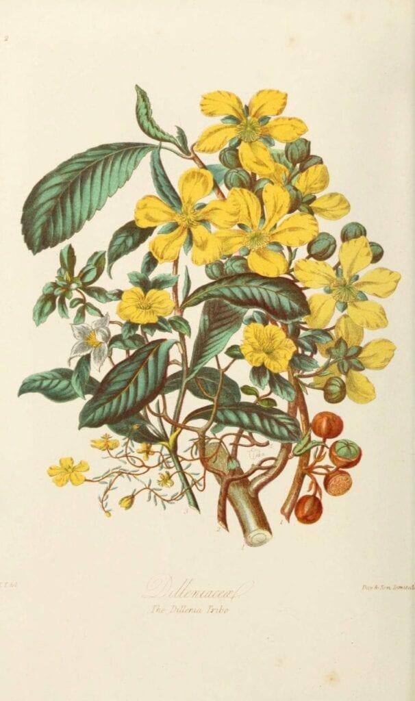ilustracoes botanicas 08