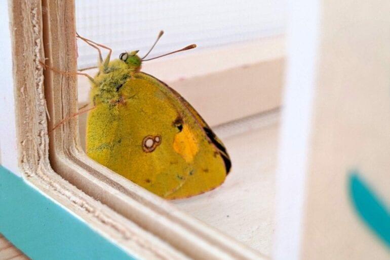 caca borboleta 01