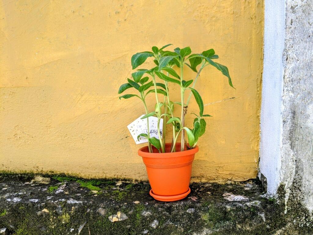 plantar flores girassol