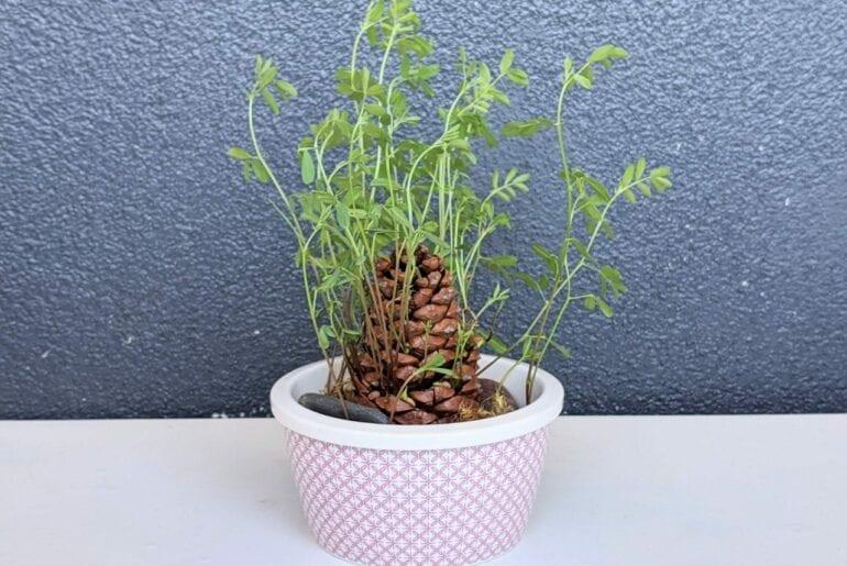 Como plantar lentilha 01