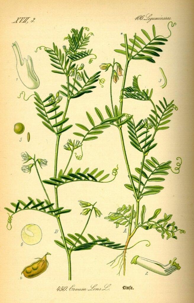 plantar lentilha