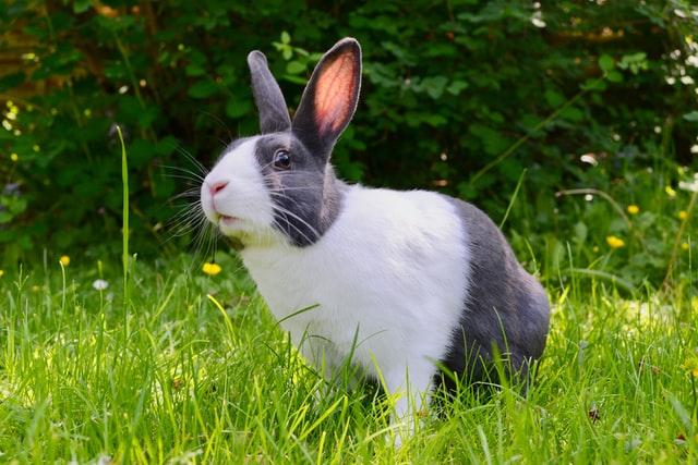 animais domesticos coelho