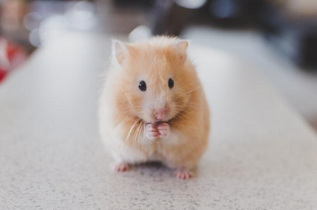 animais domesticos hamster