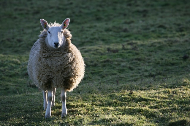 animais domesticos ovelha