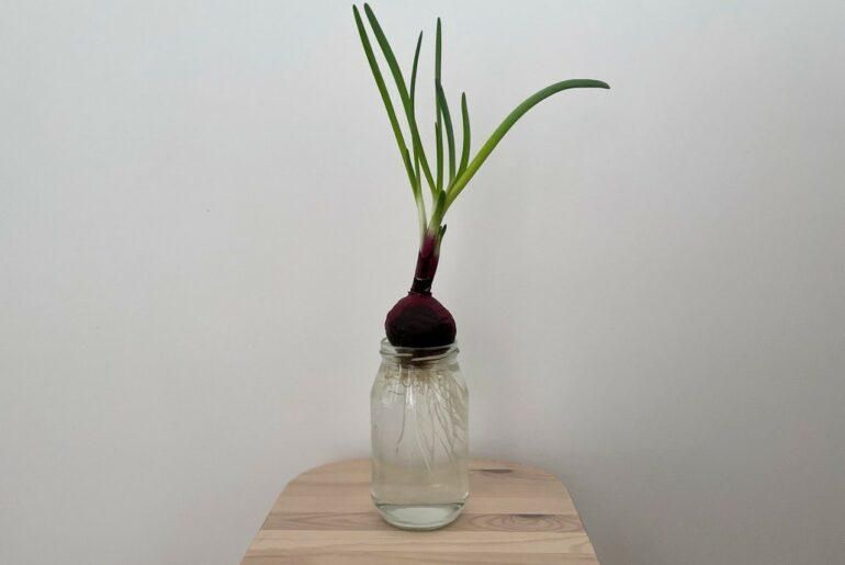 como plantar cebola na agua