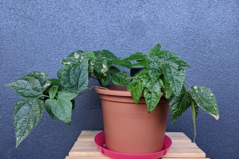 plantar feijao no algodao e transplantar