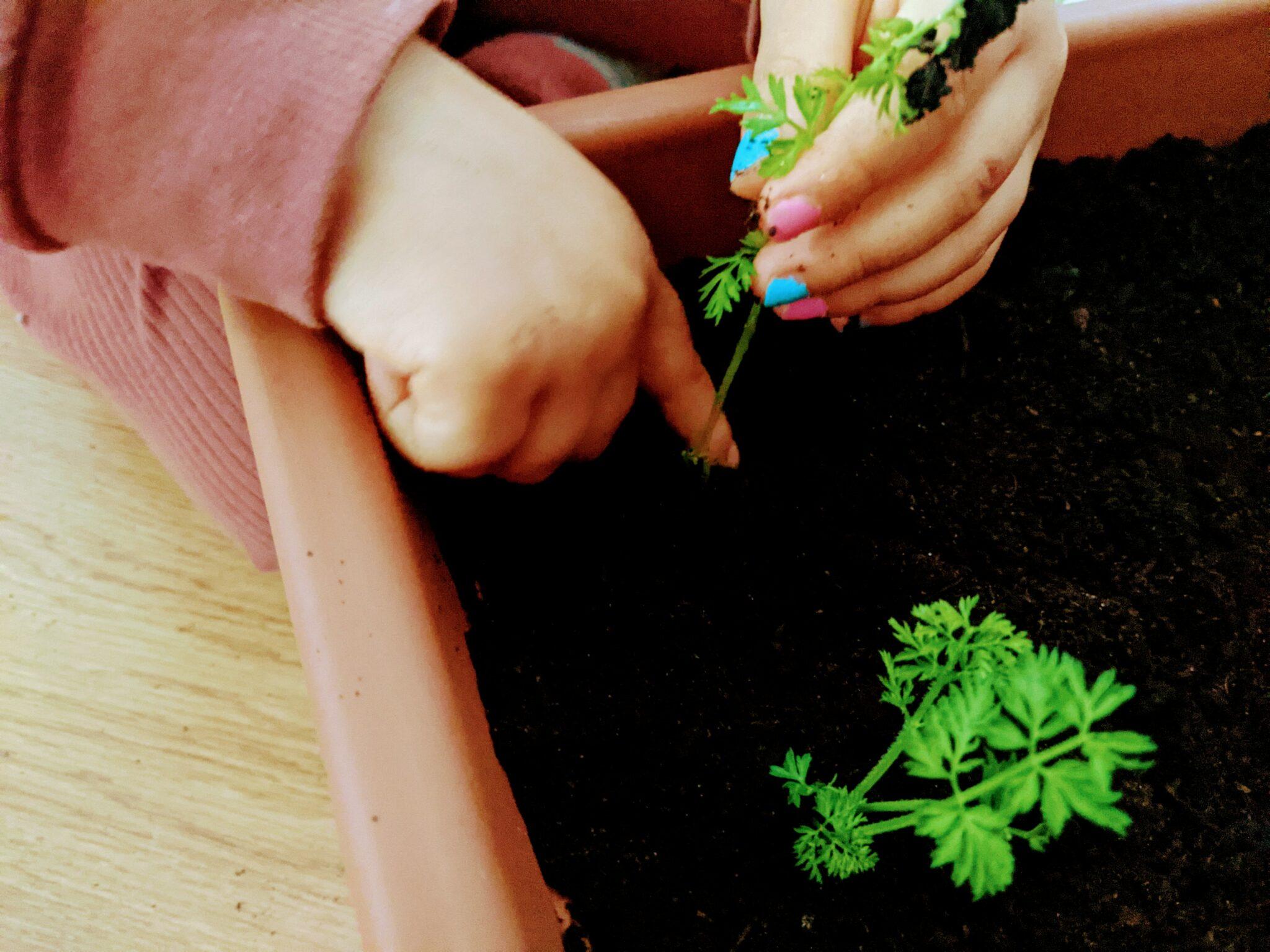 plantio de cenoura em casa